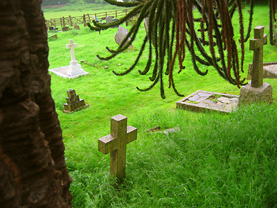Monkey puzzle tree in graveyard at church of St Andrew and St Mary, Watton-at-Stone, Hertfordshire, England, Britain, UK