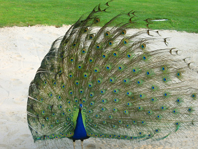 Peacock displaying in a bunker on the golf course at Leeds Castle