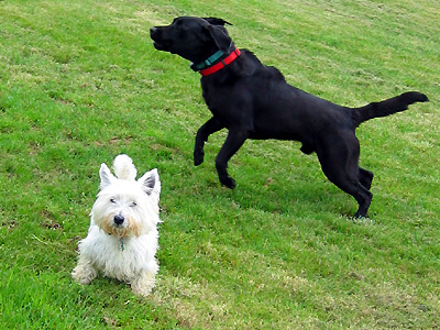 Playful dogs (Black Labrador Retriever and West Highland White Terrier) near Fairbourne Manor Farm, Harrietsham, Kent, England, Britain, UK