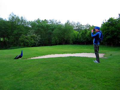 Guy photographing peacock, evening, sand trap, bunker, golf course, Leeds Castle, Kent, England, Britain, UK, May 2007