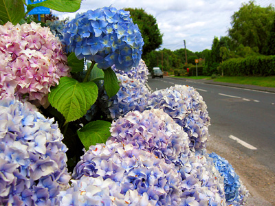 Blue and pink hydrangea in Layer-de-la-Haye village