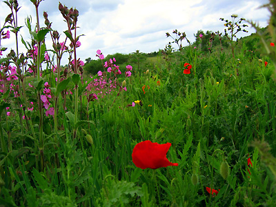 Red corn poppies (Papaver rhoeas) and wildflowers in field northeast of Butcher's Wood, Colchester, Essex, East Anglia, England, Britain, UK